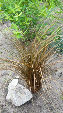 Carex comans 2