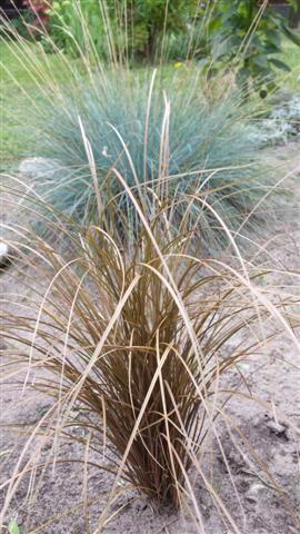 Carex comans 3