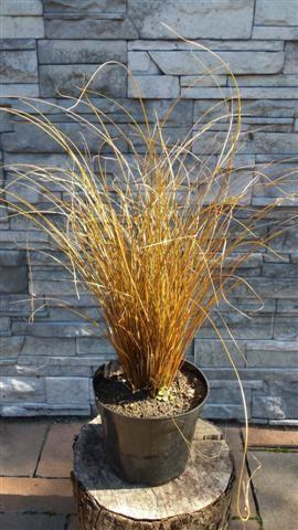 Carex comans 4