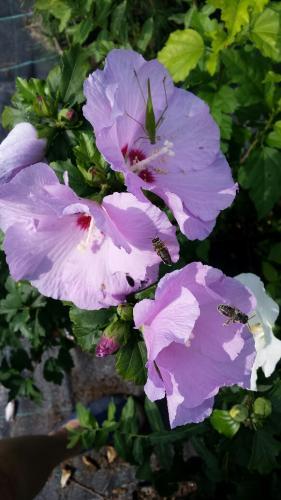 hibiskus fiolet