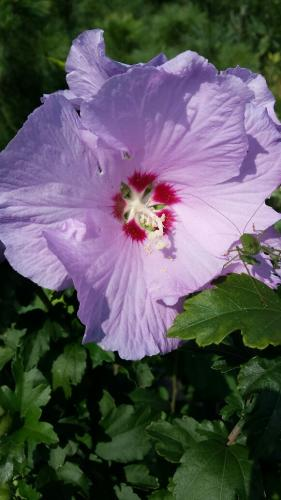 hibiskus jeden fiolet