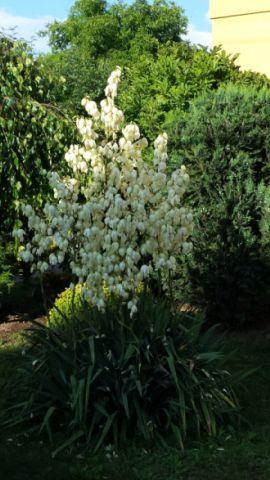 jukka ogrodowa